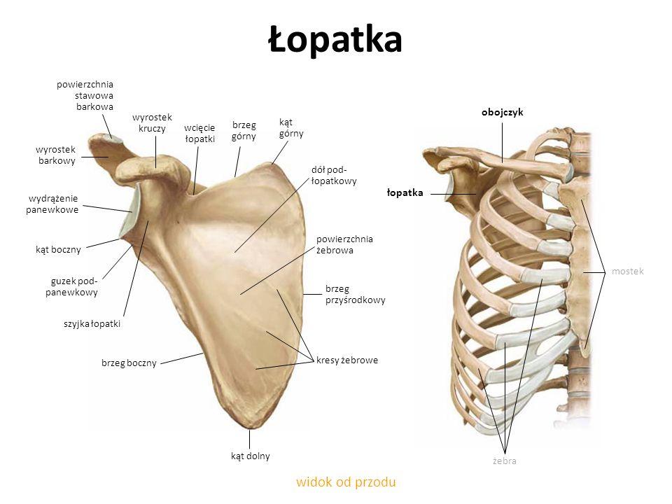 zespół trzaskającej łopatki - anatomia